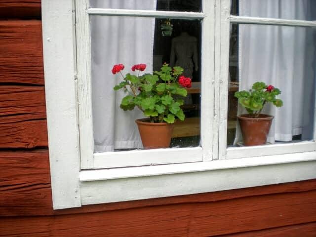 ゼラニウム、冬越し、窓際
