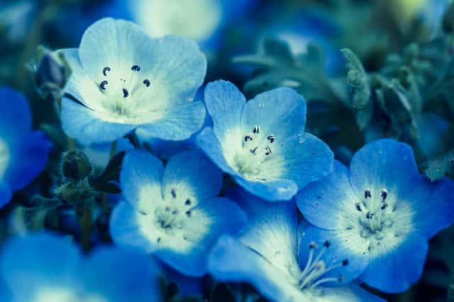 幻想的なネモフィラの花