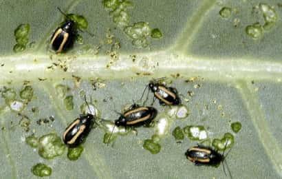 キスジノミハムシの成虫による食害