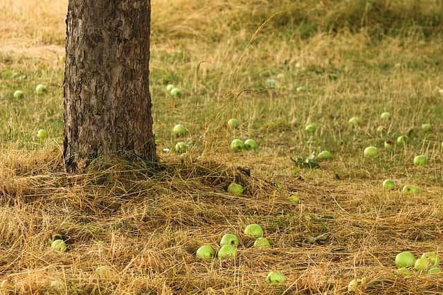 実が落ちてしまった果樹と地面