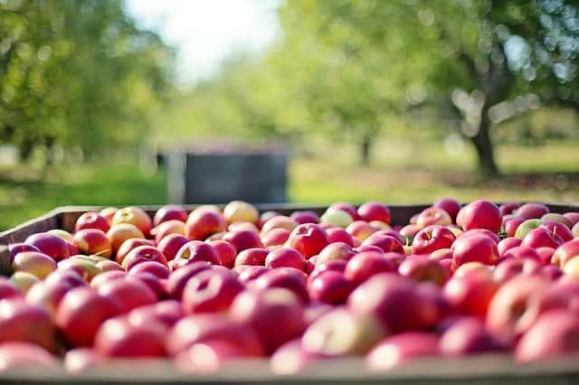 たくさんのリンゴの収穫
