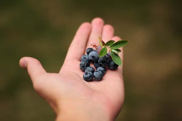 手に乗せたブルーベリーの果実