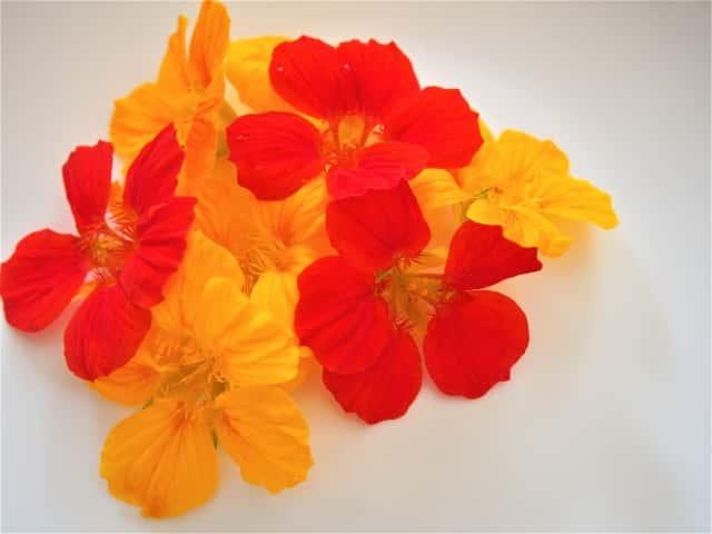 鮮やかな赤や黄色のナスタチウムの花