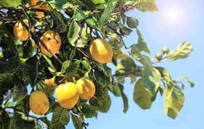 レモンの木に日が当たる