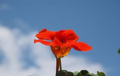 ナスタチウムの花と青空