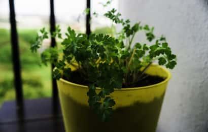 鉢植えで育つイタリアンパセリ