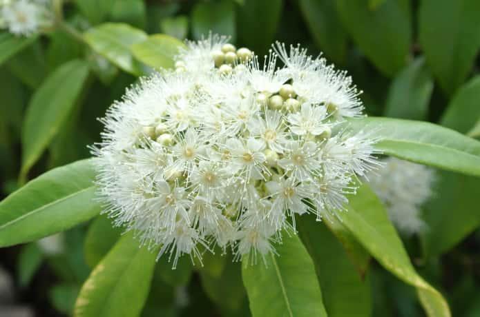 白い花がきれいなレモンマートル