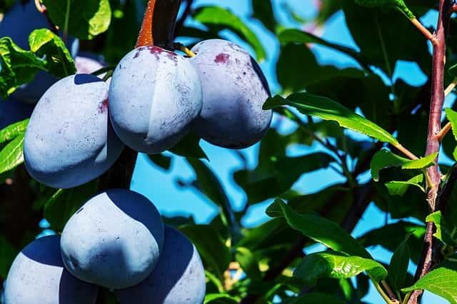 果実がしっかり実った果樹