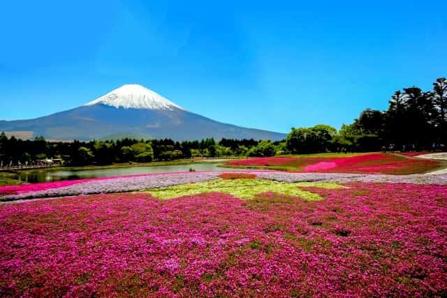 一面に広がる芝桜と富士山