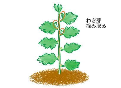 スプレーマム 、スプレー菊、わき芽取り
