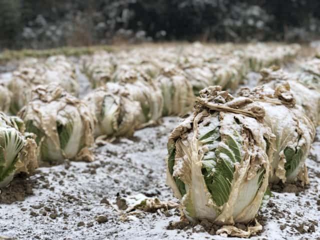 白菜の越冬