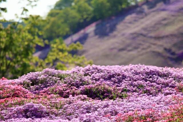 地面を覆う芝桜