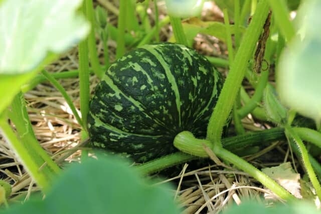 収穫前のかぼちゃ