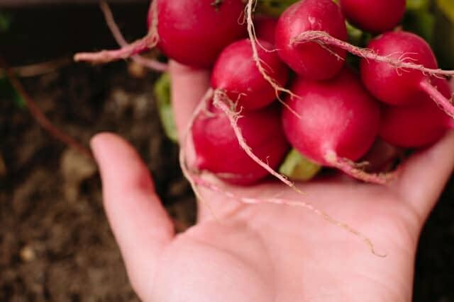 ラディッシュを収穫する手