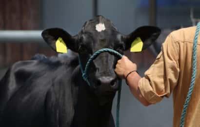 人に引かれる牛
