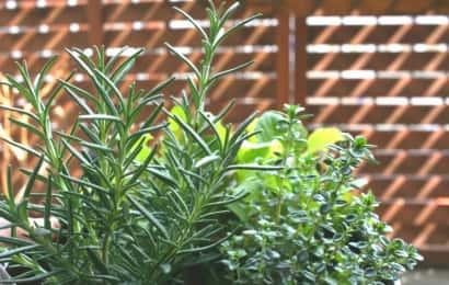 日が当たったハーブの鉢植え