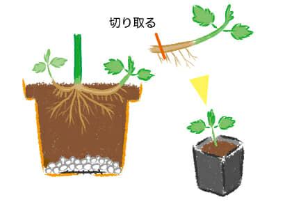 スプレーマム 、スプレー菊、冬至芽