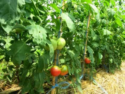 ハウス トマト