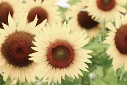 ひまわり、品種、花色、白