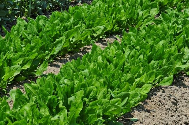 ホウレンソウ、栽培、育て方