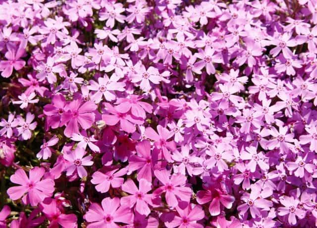 2種のピンクの芝桜