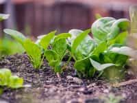 ホウレンソウ栽培