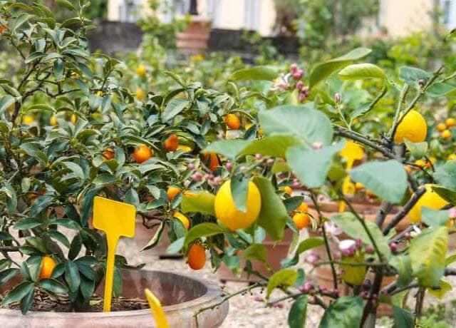 鉢植えのレモンの木