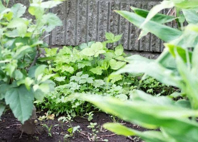 塀の横で育つ三つ葉