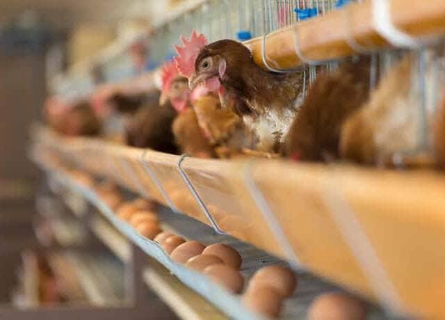養鶏場のニワトリ