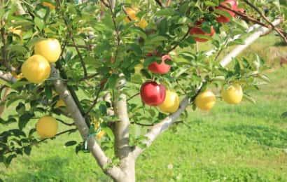 赤と黄色の2つの品種のリンゴがなっている木
