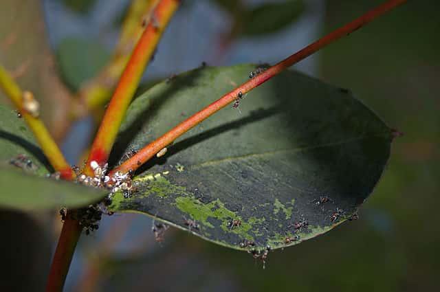 カイガラムシによってすす病が発生した植物の葉