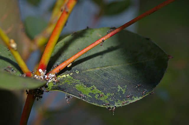 カイガラムシの排泄物によりすす病が発生した樹木の葉