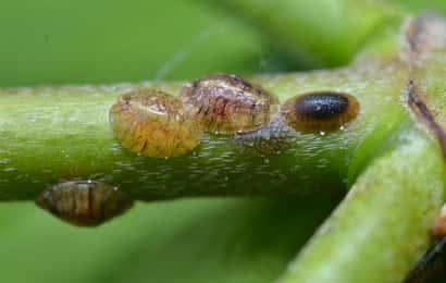 植物の汁を吸汁加害するカイガラムシ