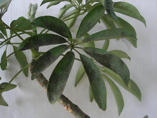 室内の観葉植物に発症したすす病の葉