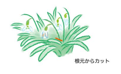 スノードロップ、花がら摘み