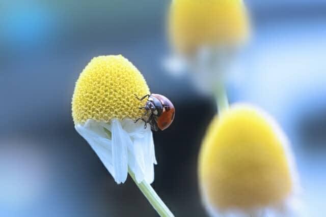 ジャーマンカモミールの花とてんとう虫