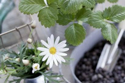 ミントや花を植え替える