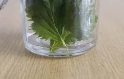 シソを水に挿すのは茎部分のみ