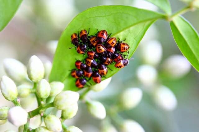 農業害虫クサギカメムシ
