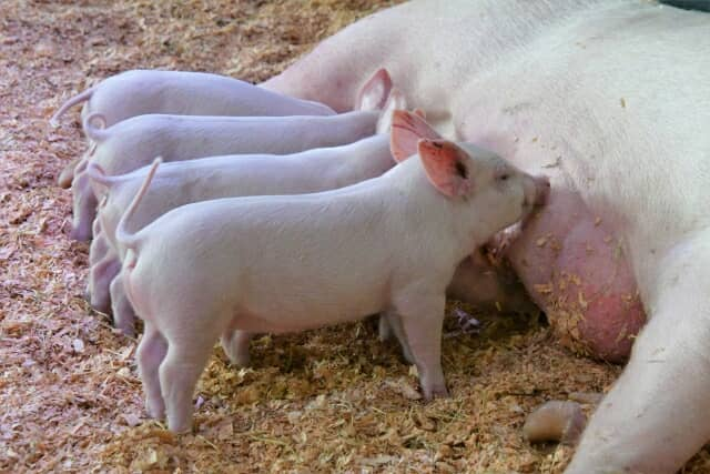 乳を飲む子豚たち