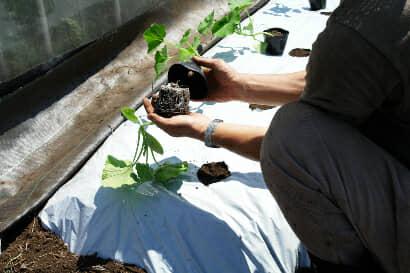 カボチャの苗の植え付け