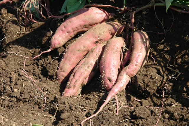 土から掘り出したサツマイモ