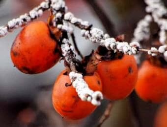 枝にびっしりとカイガラムシがついた柿の木