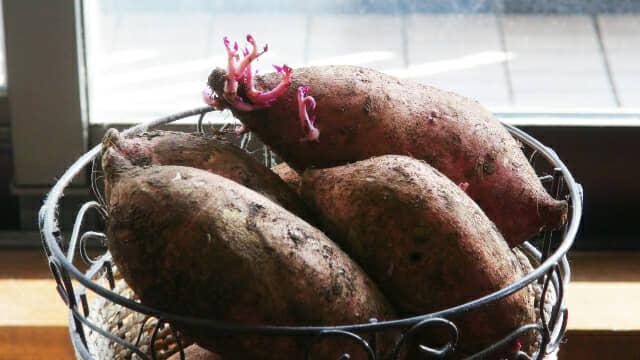 安納芋の芽出し