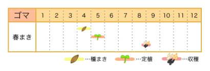 ゴマの栽培カレンダー