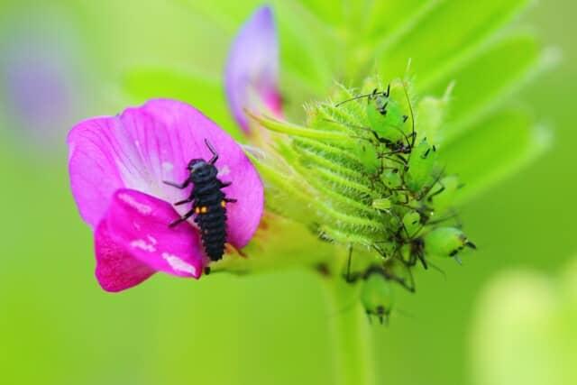 テントウムシ幼虫、天敵昆虫