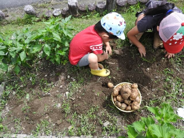 畑でじゃがいもを掘る子どもたち