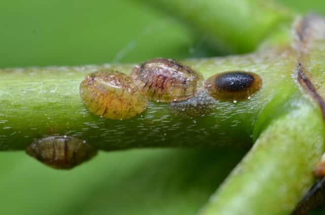 植物の汁を吸汁し被害を与えるカイガラムシ