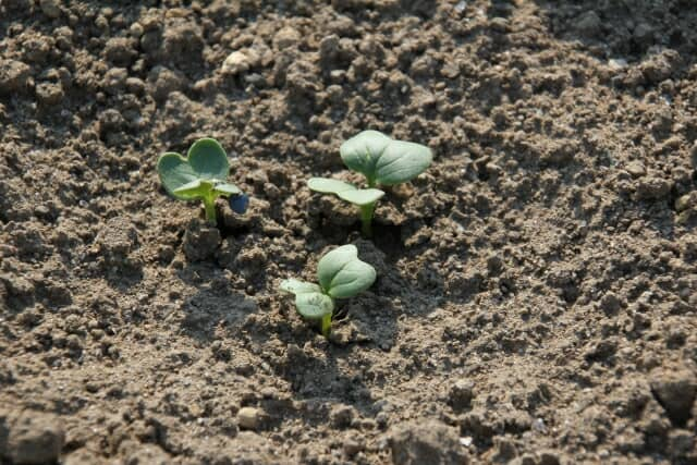 ダイコン、新芽、発芽、この時期がハイマダラノメイガ (シンクイムシ)要注意