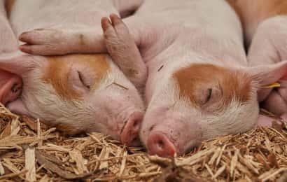 寝転がる豚